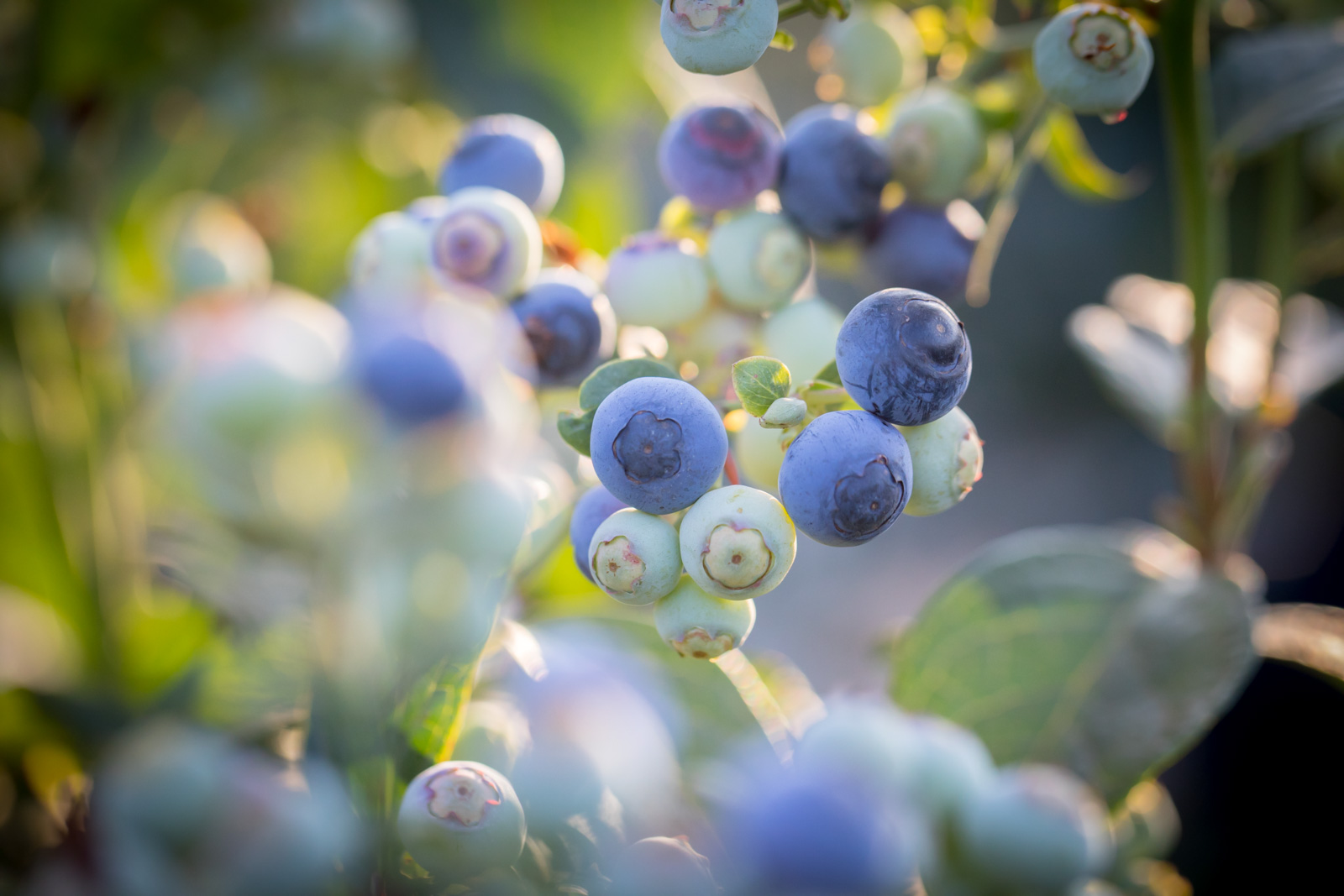 Neoberry Blueberries